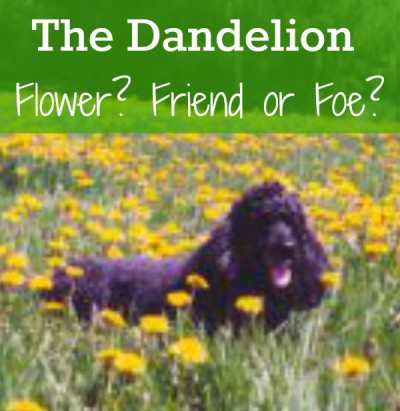 Is The Dandelion A Flower, Friend or Foe?