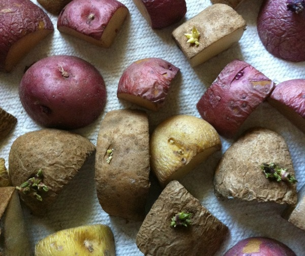 Learn how to grow potatoes without dirt - easy DIY!