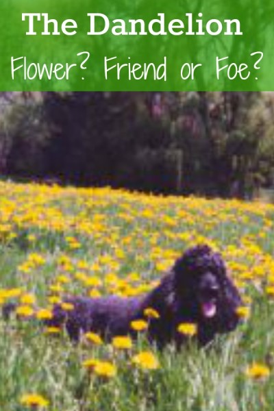 Is the dandelion a flower? Your friend or foe?