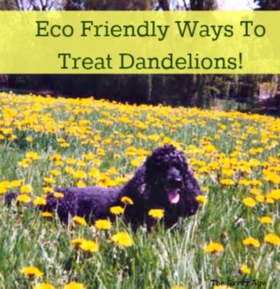 How To Safely Control The Dandelion (flower or weed!)