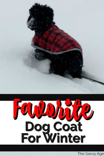 black poodle with red coat walking through snow