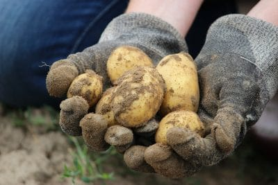 New white potatoes harvested from dirt.